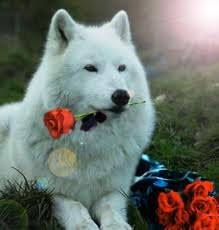 whitewolfwithroses